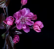 Cherry Blossom by John Edwards