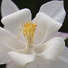 White Columbine by Linda Makiej