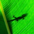 Day gecko ( Phelsuma Lineata ) view 1 - antasibe  Madagascar by john  Lenagan
