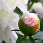 Backyard Peonies by ctheworld
