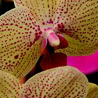 Phalaenopsis by ctheworld