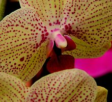 Phalaenopsis   ^ by ctheworld
