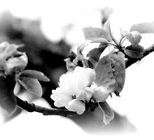 the last apple blossom~ by Brandi Burdick