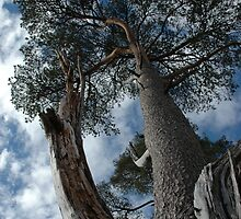 Scots Pine, Kinlochleven by cuilcreations