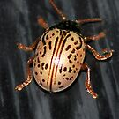 Willow Leaf Beetle by Sheri Nye
