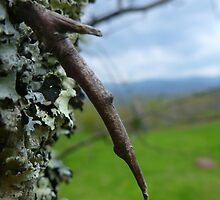 Thorn, Lichens, Mountains by Chad Burrall