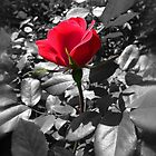 Knock Out Rose by Bine