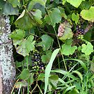 Grapes on the Vine #3 by Paula Tohline  Calhoun