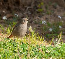 black redstart by Steve Shand