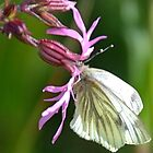 Cabbage White Butterfly On A Pretty Wild Flower by lynn carter