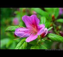 Rhododendron Kiusianum - Upper Brookville, New York  by © Sophie Smith