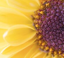 Sun In Flower Floral Macro Photography by lilianchance