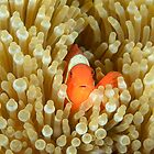 Spine-cheeked Anemonefish - Premnas biaculeatus by Andrew Trevor-Jones