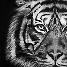 Tiger in charcoal by Jacqui Frank