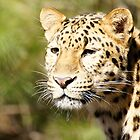 The Eye Of Leopard by Tina Hailey