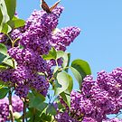 Lilac Bloom and Butterfly by Tracy Riddell