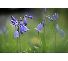 Bluebells at Downton abbey Photographic Print