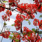 Flamboyant Tree by globeboater