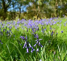 Bluebells  by Ian Mac