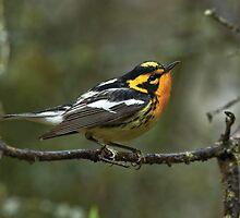 Blackburnian Warbler, nemisis no more by Wayne Wood