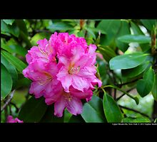 Rhododendron Solidarity - Upper Brookville, New York by © Sophie W. Smith