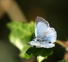 Small Blue Butterfly by Chris Day