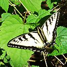 Tiger Swallowtail - Virginia State Insect by Bine