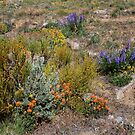 Wildflowers in the Desert,Cold Springs,Reno,Nevada USA by Anthony & Nancy  Leake