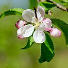 Apple Blossom by Margaret S Sweeny