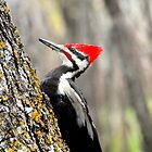 pileated woodpecker by Cheryl Dunning
