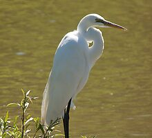 Great White Egret by withacanon