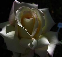 Peace rose in the shadows by MarianBendeth
