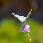 Butterfly by Apostolos Mantzouranis