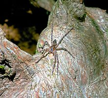 Big Spider on a Cyprus Knee by imagetj