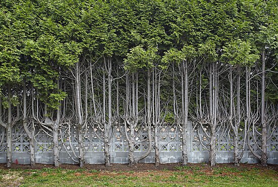 Cedar Hedge Detail by Paul Eekhoff