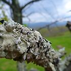 Lichens on Mountain Tree by Chad Burrall