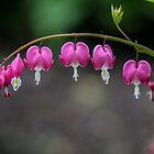 Bleeding Heart Flowers by Pixie Copley LRPS