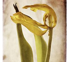 zephyr - a tulip ages gracefully by Kelly Letky