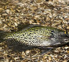 Crappie 2 by Thomas Young