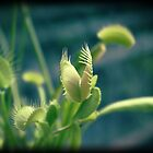 Venus flytrap by Maria Tzamtzi