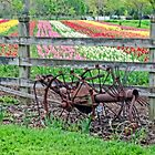 Tulips Everywhere by cherylc1