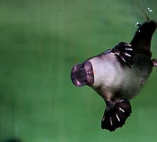 platypus acrobatics by Steve Scully
