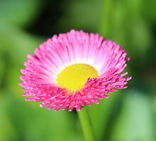 Pink flower by Keala