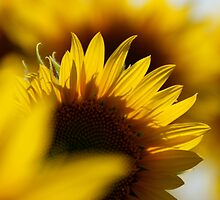 Sunflower...2 by shila353