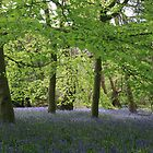 Bluebells at the beech! by miradorpictures