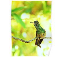 Berylline Hummingbird Perched Poster
