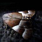 Pretty Moth... by debsphotos
