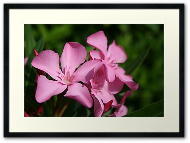 Pink Oleander Blossom by taiche