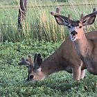 Velvet Muleys by Betty E Duncan © Blue Mountain Blessings Photography