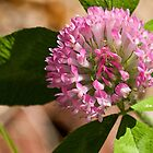 Red Clover by Otto Danby II